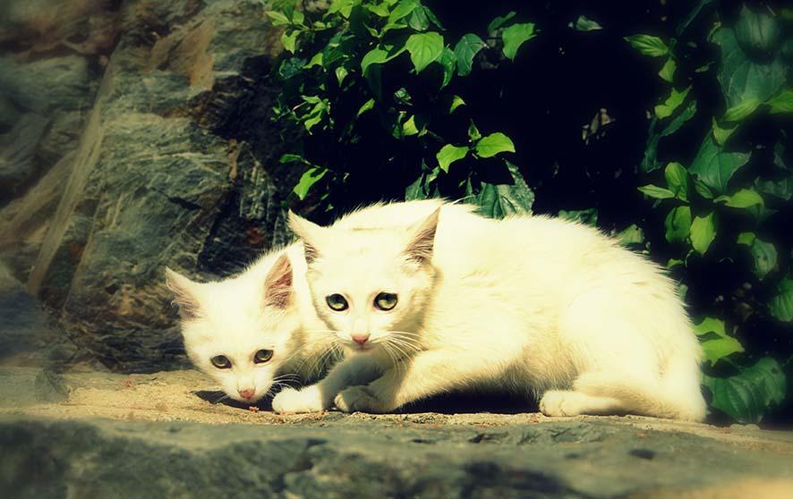chats, nature, chatons blancs