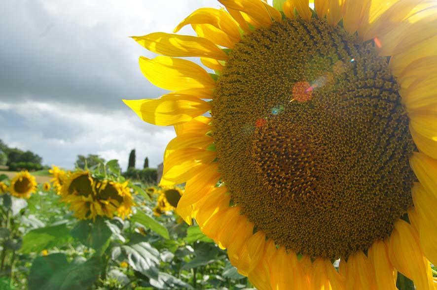 campagne, champ de tournesols, soleil